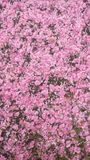 Carpet of flowers. Pink flowers covering the ground Stock Photography