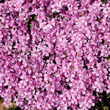 Carpet of flowers - pink phlox Stock Image