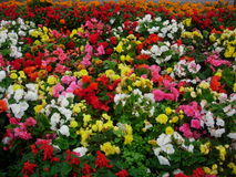 Carpet of flowers Royalty Free Stock Photos