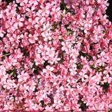 Carpet of flowers - rose phlox. Rose flowers of springtime on the rock garden Stock Image