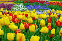 Colored tulips and pansies. Spring background Royalty Free Stock Photography