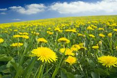 Carpet full of dandelions. Stock Photos