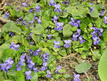 Carpet of garden violets, spring nature. April Royalty Free Stock Photography