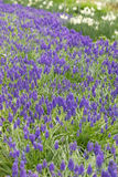 A carpet of grape hyacinth. In the spring Stock Photography