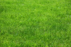 A carpet of grass Royalty Free Stock Images