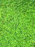 Carpet from green leaves of a shamrock Stock Photo