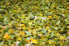 Carpet of Green and Yellow Autumn Leaves. Newly Fallen Green and Yellow Autumn Leaves with Selective Focus Royalty Free Stock Image
