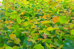 Carpet of green and yellow leafs Royalty Free Stock Image