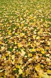 Carpet of leaves. Carpet of autumn leaves as background. With lots of space for copy stock photography