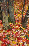 Carpet of leaves. Fall leaves and trees Royalty Free Stock Photos