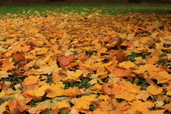 Carpet of leaves Stock Images