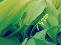 Plantation of Lilies of the Valley Close Up Stock Photos