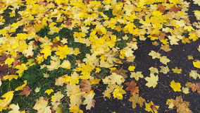 A carpet of maple leaves Royalty Free Stock Images