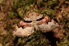 Carpet moth. Stock Photo