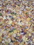 Carpet from multi-colored autumn leaves. royalty free stock images