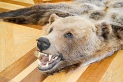 Carpet with a natural hunting trophy, scarecrow, skin of a wild. Brown grizzly brown bear with fangs. The background stock photo