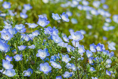 Carpet of Nemophila, baby blue eyes flower Royalty Free Stock Photos