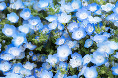 Carpet of Nemophila, or baby blue eyes flower Stock Image