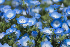 Carpet of Nemophila, or baby blue eyes flower Stock Photo