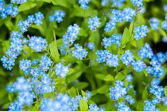 Carpet of Nemophila, or baby blue eyes flower stock photos