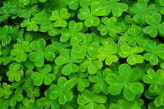 Free Carpet Of Clover Stock Photography - 5851722
