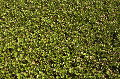 Free Carpet Of Water Hyacinth Stock Photography - 659692