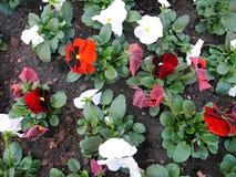 Carpet of pansies Stock Photo