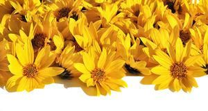 Carpet of petals of yellow daisies Royalty Free Stock Photography