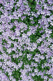 Carpet of Phlox Flowers Royalty Free Stock Photo