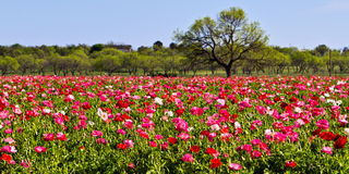 Carpet of poppies. Field of poppies at Wildseeds flower farm in Fredericksburg, Texas royalty free stock image