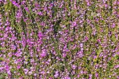 Carpet of purple flowers Stock Images