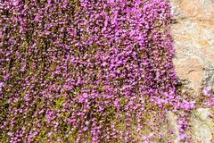 Carpet of purple flowers on rock Stock Photography