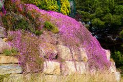 Carpet of purple flowers on rock Stock Images