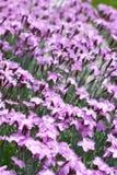 Carpet of purple mini carnation flowers Stock Image