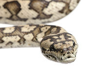 Carpet python - Morelia spilota variegata Royalty Free Stock Photos