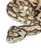 Carpet python - Morelia spilota variegata. In front of a white background Royalty Free Stock Photography