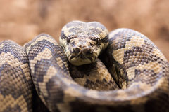 Carpet python - Morelia spilota variegata. Close-up view of a Carpet python - Morelia spilota variegata Stock Photos