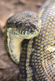 Carpet python snake. A carpet python snake in Queensland, Australia Stock Image