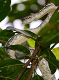 Carpet python snake striking. A carpet python snake in Queensland, Australia Stock Photo