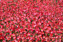 Carpet of red flowers Royalty Free Stock Photo