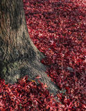 Carpet of red leaves Royalty Free Stock Photos