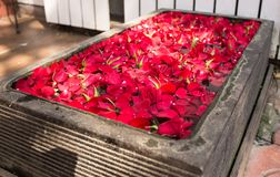 Carpet of red petals growing Royalty Free Stock Image