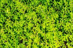 A carpet of sedum stock photo