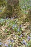 Carpet Siberian Scilla around mossy roots oak Royalty Free Stock Photo