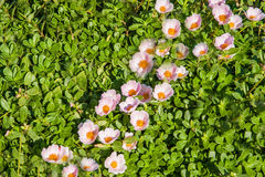 Carpet of small pink flowers on the grass at the Egyptian Stock Image