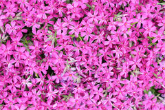 Carpet of small purple flowers Stock Photography
