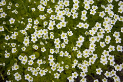 The carpet of small white flowers. A photo of a large number of small white flowers on a green grass background Stock Images
