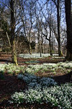 Carpet of snowdrops under trees in spring Stock Photos