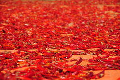 Carpet of spicy chili, Myanmar Royalty Free Stock Photography