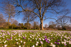 Carpet of spring crocus in parkland Royalty Free Stock Images